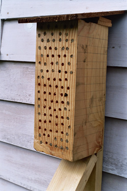 Photo of Orchard Mason Bees - Click for a larger image